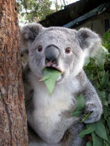 surprised-koala1