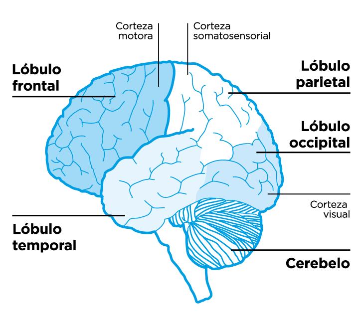 Glosario: Cara externa de la porción superior del Sistema Nervioso Central
