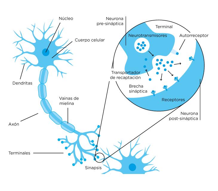 Esquema de una sinapsis neuronal