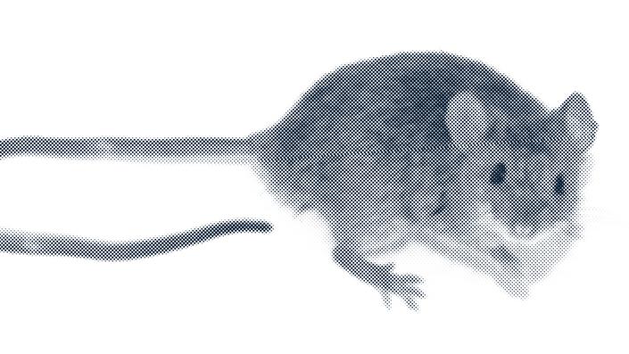 Alerta ratón: ¿qué pasa con el Hantavirus?